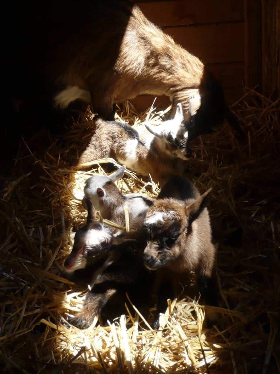 WSU goats