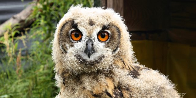 10 animal internships The Eurasian Eagle-owl chick in wild bird of prey rehabilitation center in mountains