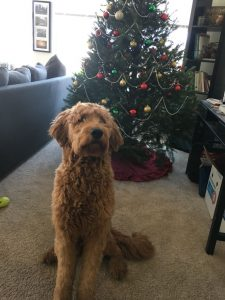 Ross University veterinary graduate's dog the goldendoodle Buckley standing in front of a Christmas tree.