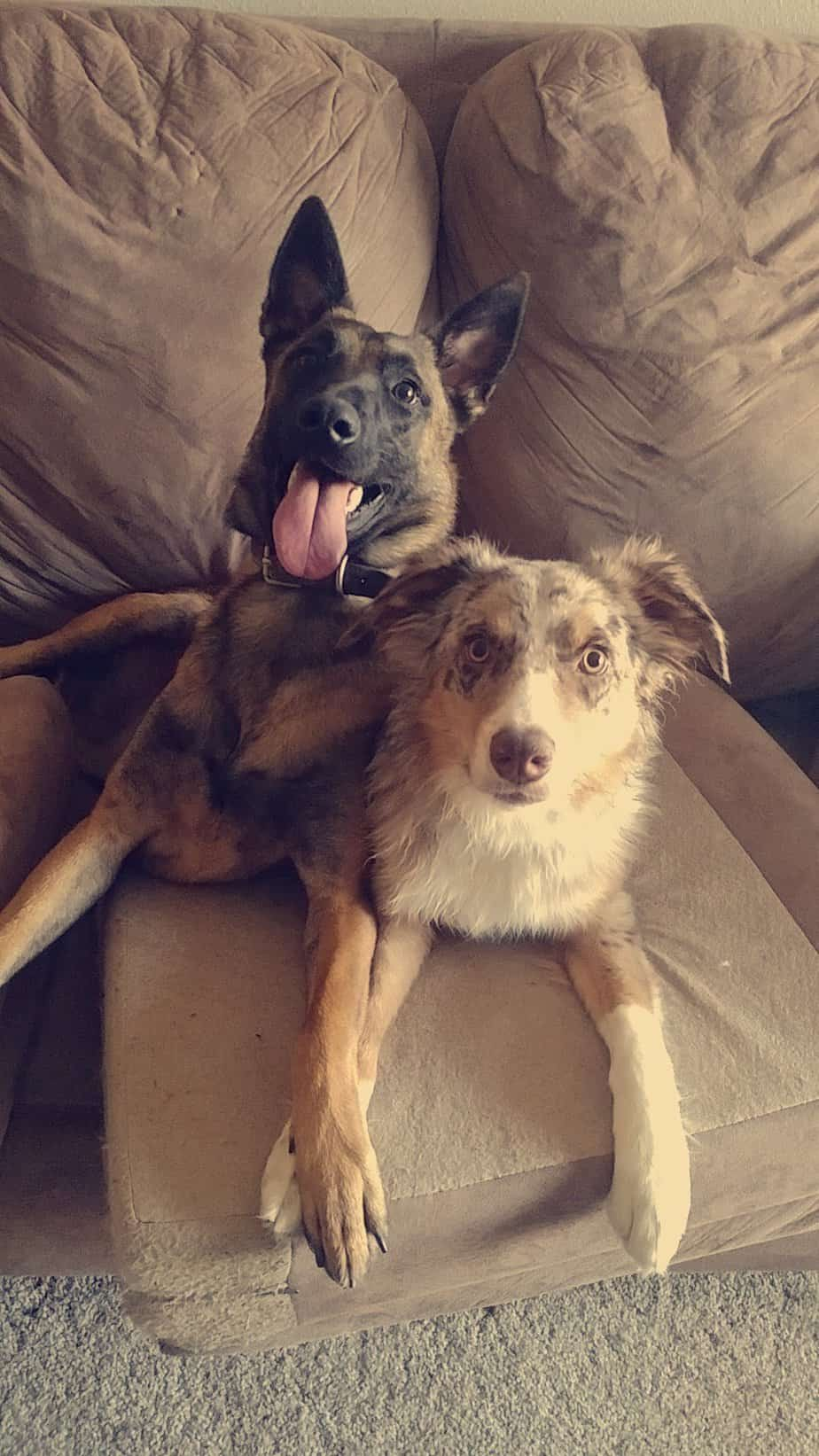 Kevin Ruiz's 2 dogs Oakley and Copper. A Belgian Malinois and an Australian Shepherd.