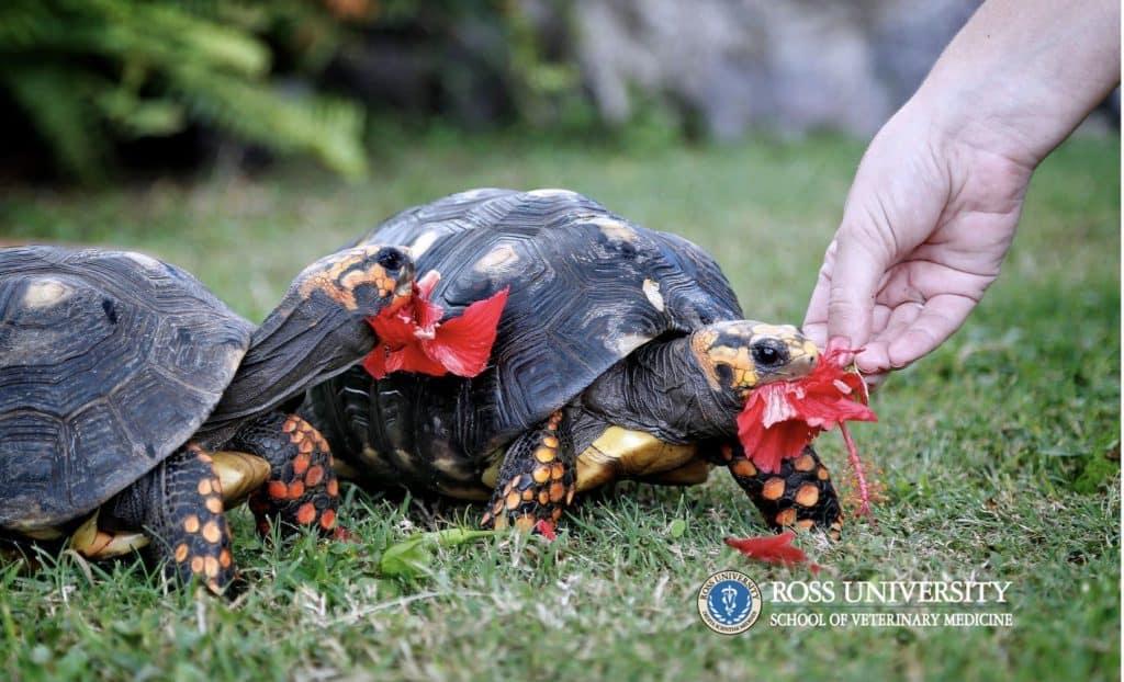 RUSVM a Caribbean vet school with campus tortoises