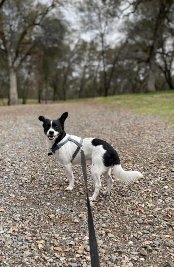 Molly Mettler's dog named Kenny. Molly is a UC Davis vet school student. Kenny is a black and white Jack Russell mix.