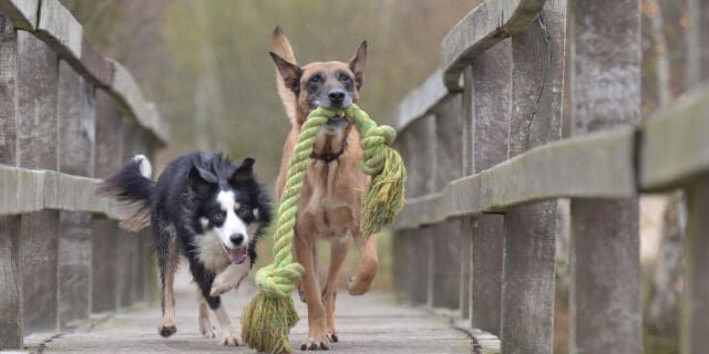 Animal behavior books, malinois-and-border-collie running with a rope toy
