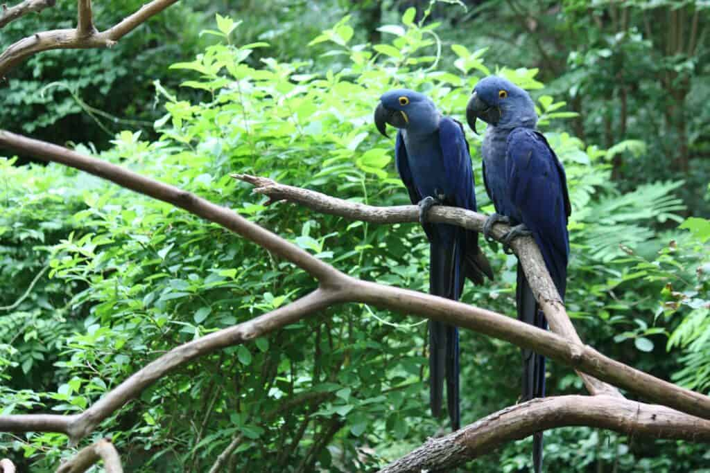 2 Hyacinth macaw parrots study animal behavior with out top books