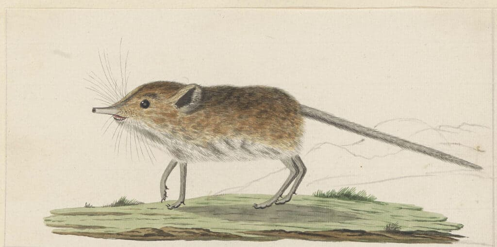shrew drawing learn about them in a book about animal behavior